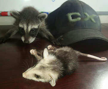 baby raccoon and baby opossum