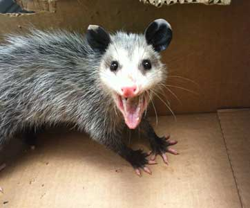 how to trap opossum